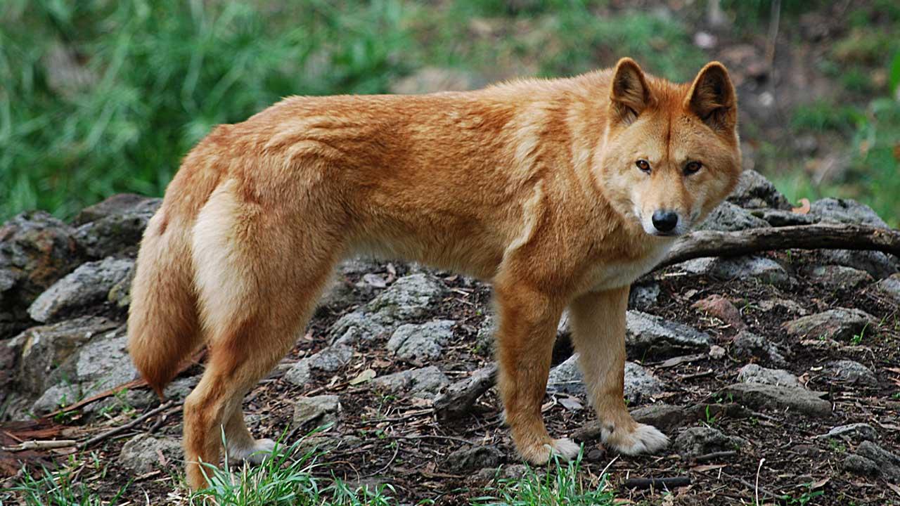 animales que solo veras en australia
