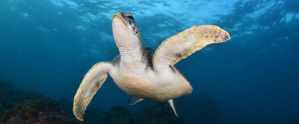 buceo entre tortugas en byron bay