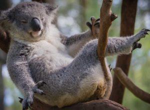 lugares para ver koalas en australia