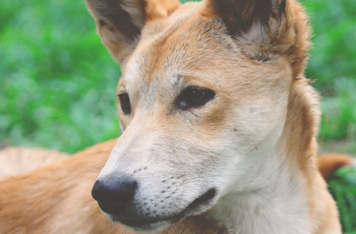 Yelka Dingo Santuario Bargo