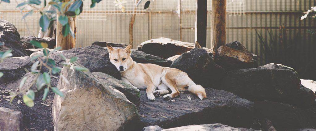 Dingo en santuario descansando